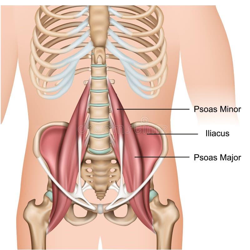 在白色背景的大腰肌肌肉解剖学3d医疗传染媒介例证 库存例证