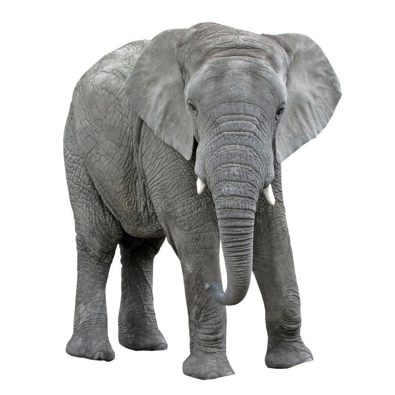 在白色背景的大象孤立 非洲动物 免版税库存图片
