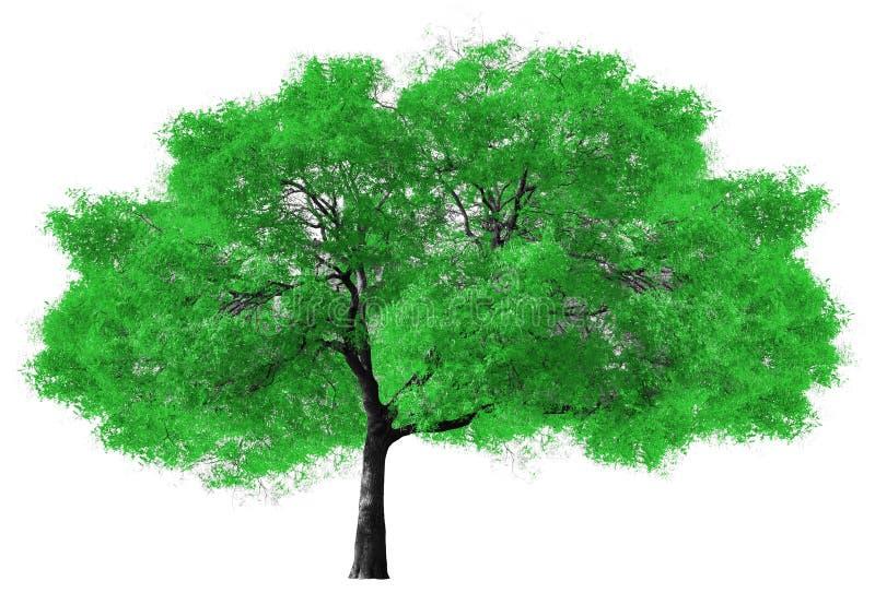在白色背景的大绿色树 免版税库存照片