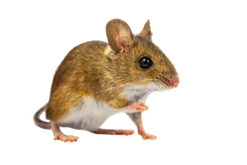 图片 包括有 剪切, 头发, 哺乳动物, 逗人喜爱, geeky, 仓鼠图片
