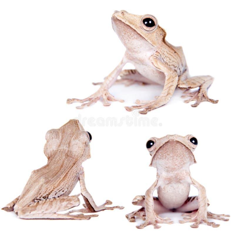 在白色背景的婆罗洲有耳的青蛙 库存图片