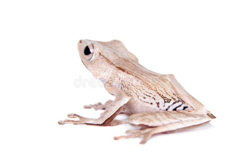 在白色背景的婆罗洲有耳的青蛙 图库摄影