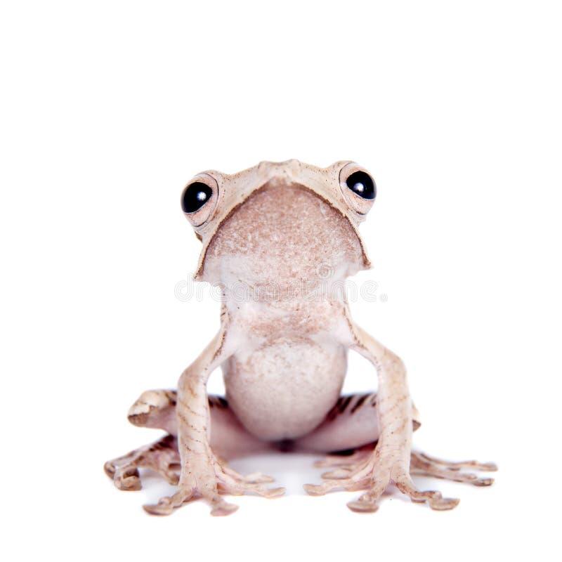 在白色背景的婆罗洲有耳的青蛙 免版税库存照片