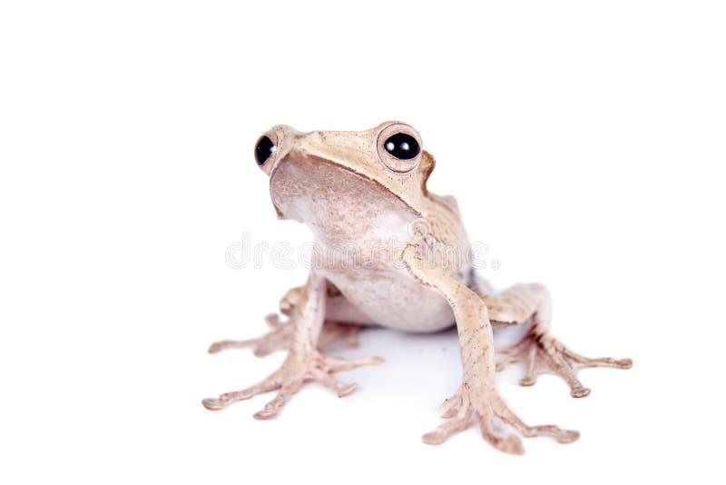 在白色背景的婆罗洲有耳的青蛙 免版税库存图片