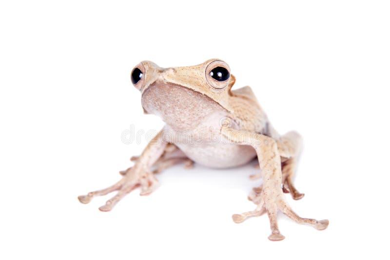 在白色背景的婆罗洲有耳的青蛙 免版税图库摄影
