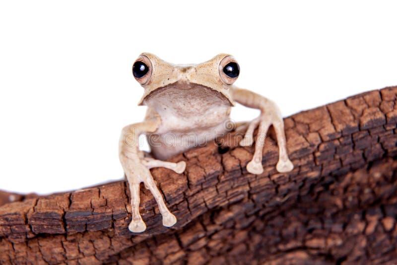 在白色背景的婆罗洲有耳的青蛙 库存照片