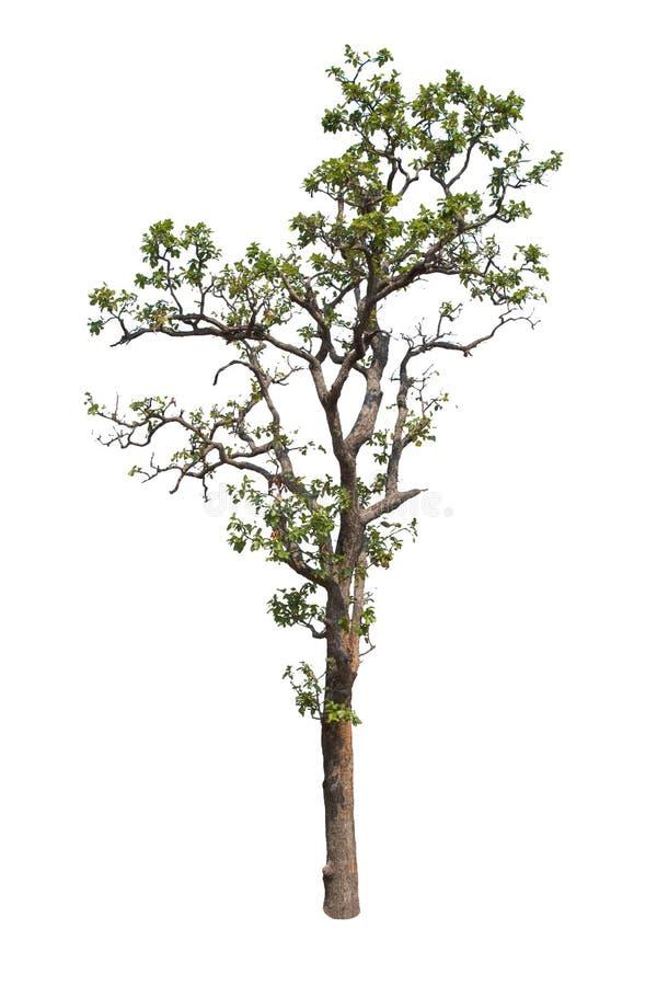 在白色背景的孤立树 库存照片