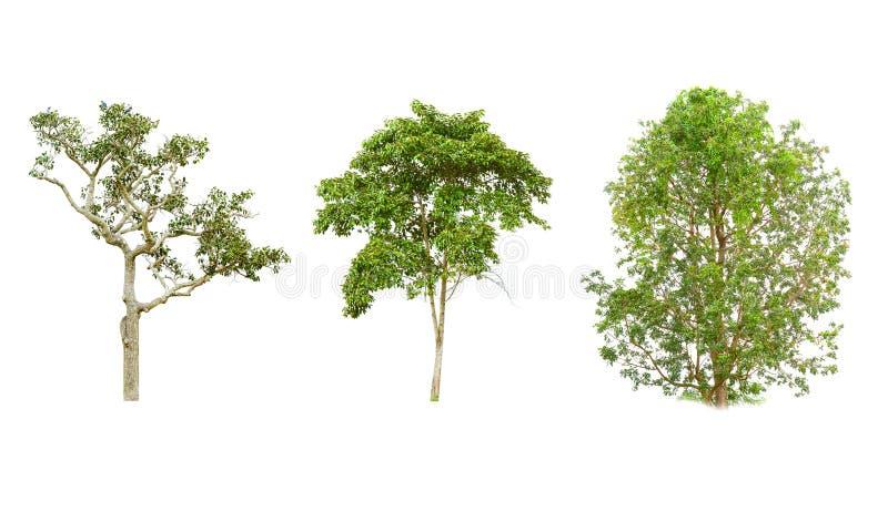 在白色背景的孤立树 免版税图库摄影