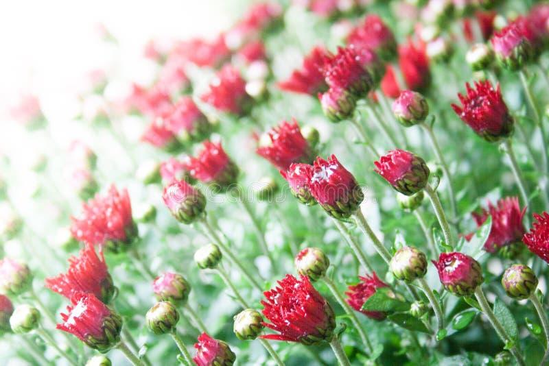 在白色背景的小深红菊花芽在温和的光 库存图片