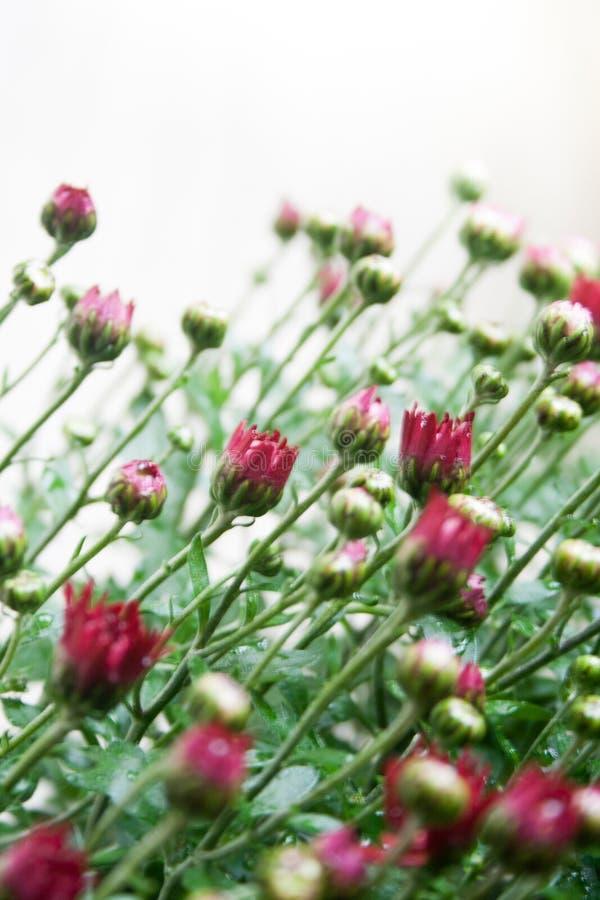 在白色背景的小深红菊花芽在温和的光 库存照片