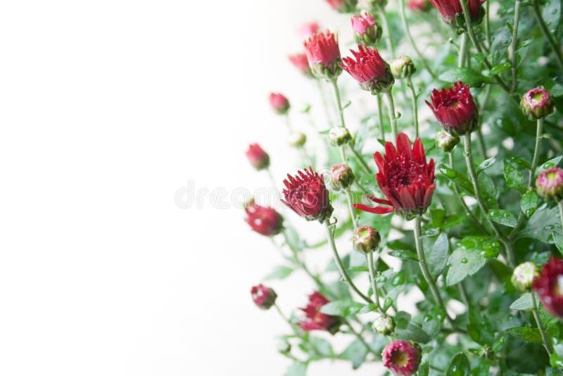 在白色背景的小深红菊花芽在温和的光 免版税库存照片