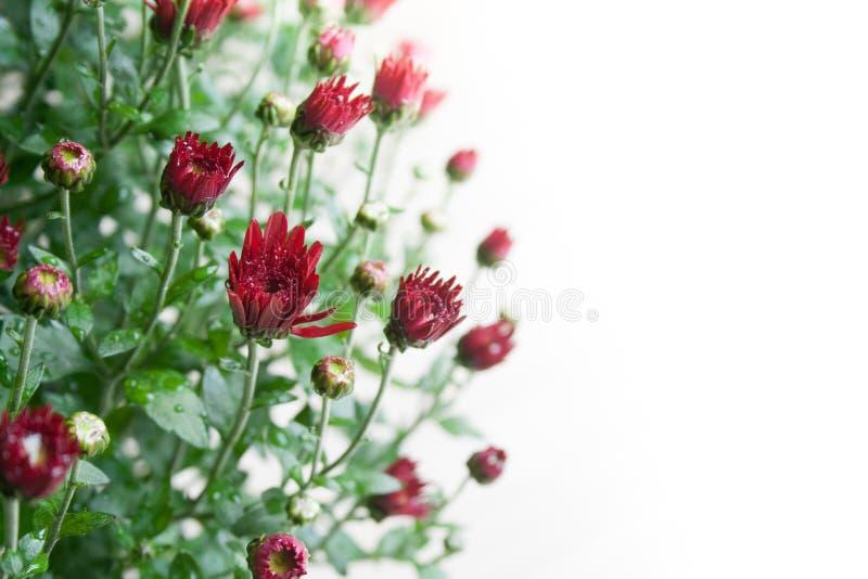 在白色背景的小深红菊花芽在温和的光 免版税库存图片