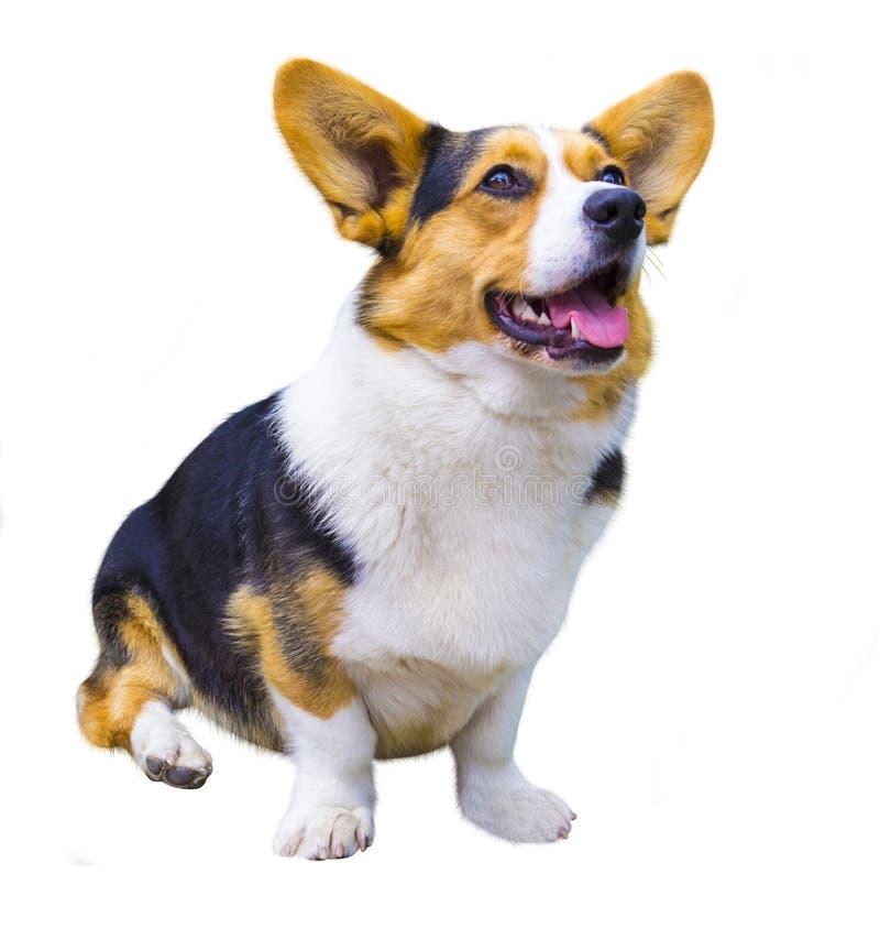 在白色背景的小狗狗 彭布罗克角威尔士Corg 滑稽的小狗 免版税图库摄影