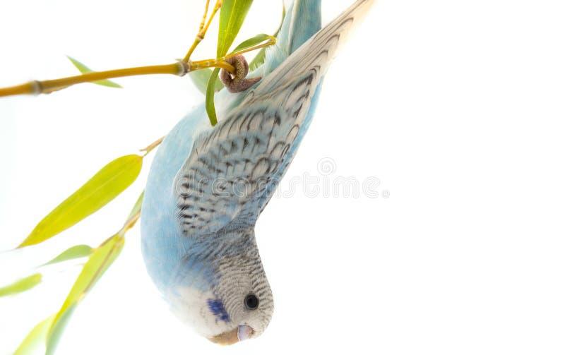 在白色背景的小的蓝色波浪鹦鹉 库存图片