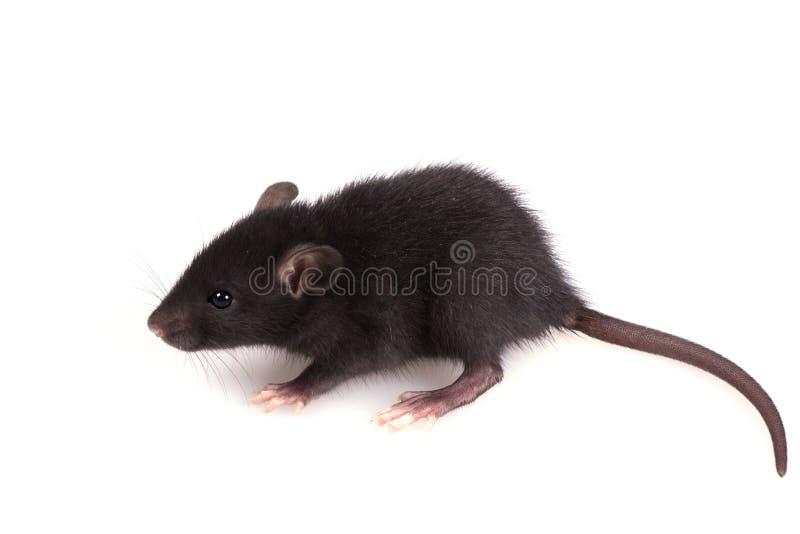 在白色背景的小的黑老鼠 免版税库存照片