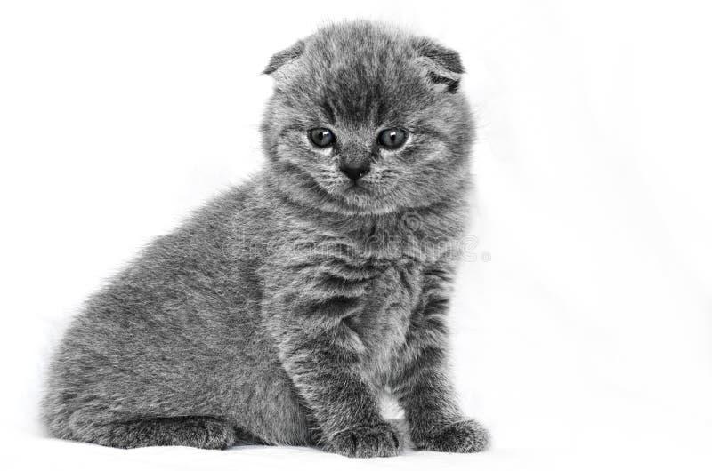 在白色背景的小英国小猫 免版税库存图片