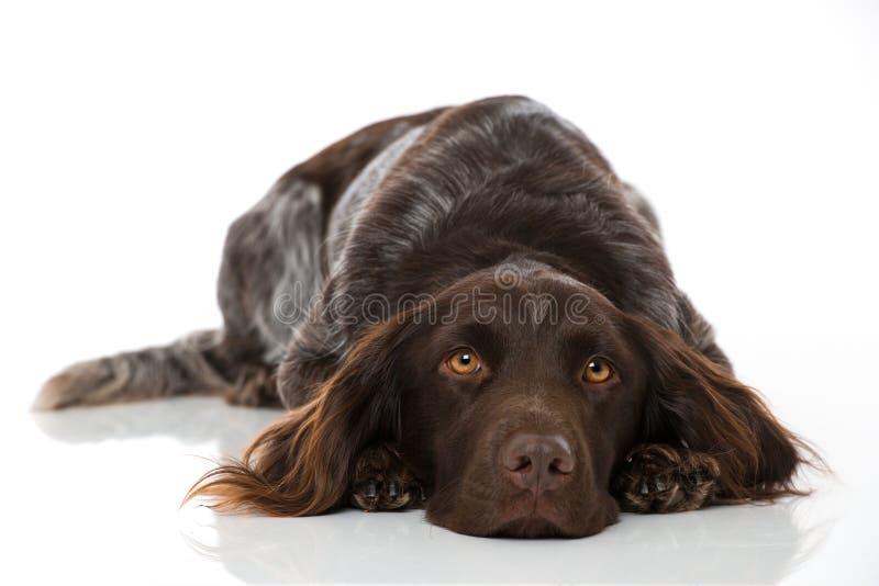在白色背景的小munsterlander狗 免版税库存照片