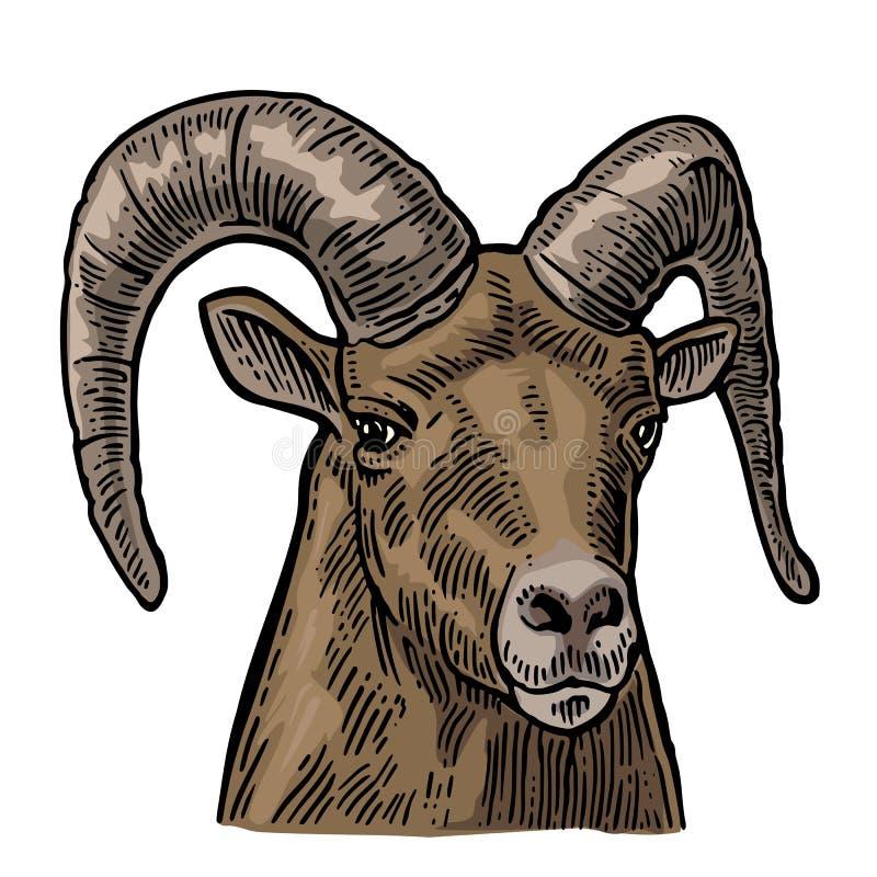 在白色背景的山羊头 库存例证