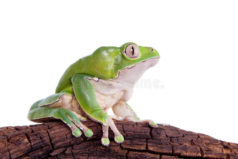 在白色背景的巨型叶子青蛙 库存图片