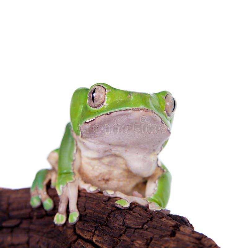 在白色背景的巨型叶子青蛙 图库摄影