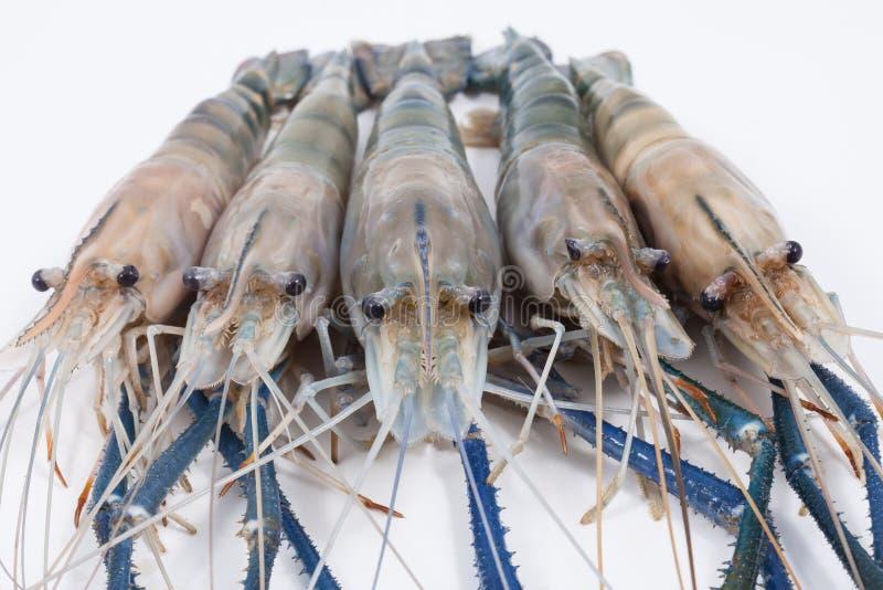 在白色背景的巨型淡水大虾 图库摄影