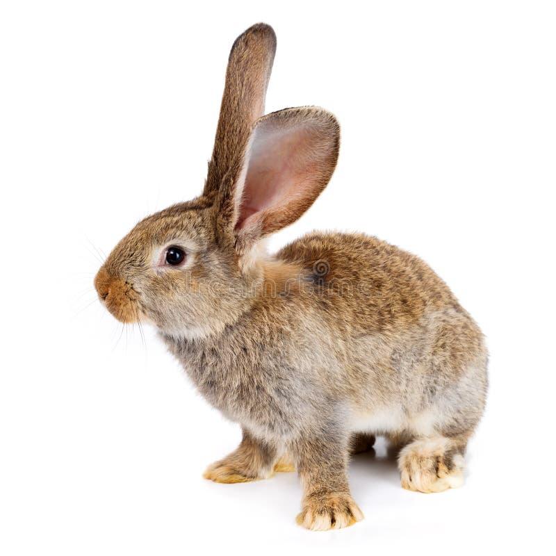 在白色背景的布朗兔子 免版税库存照片