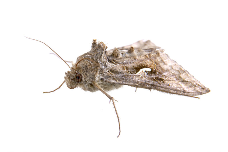 在白色背景的布朗飞蛾 库存图片