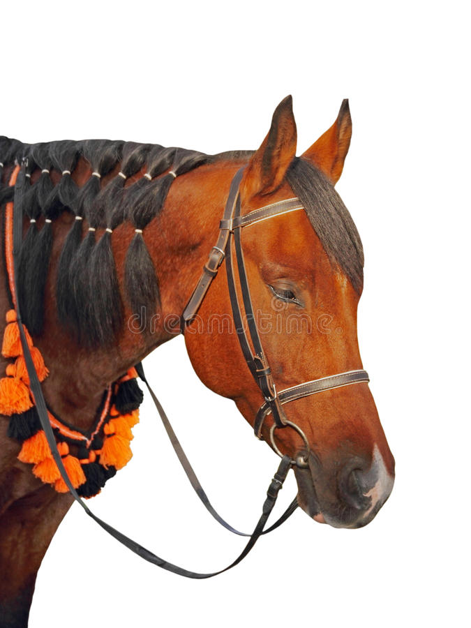 在白色背景的布朗马头被采取的特写镜头 库存图片
