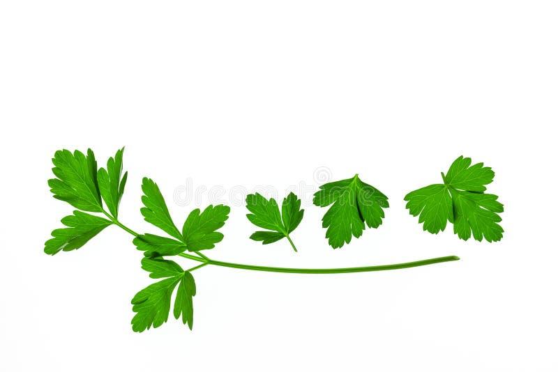 在白色背景的平的叶子荷兰芹叶子与上面拷贝空间 库存照片