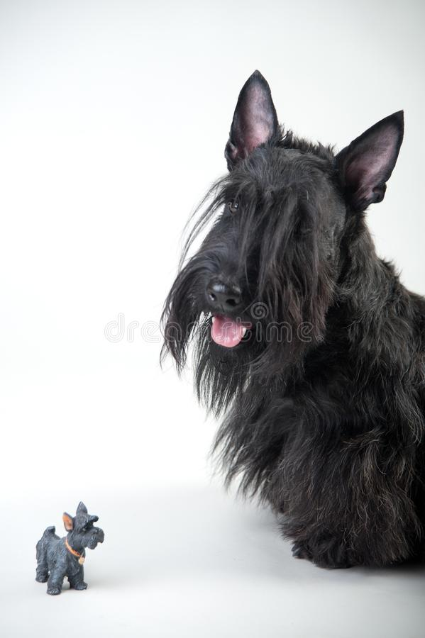 在白色背景的年轻苏格兰狗 库存图片