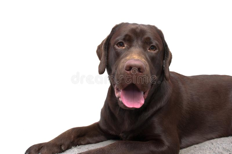 在白色背景的幼小巧克力拉布拉多猎犬 库存照片