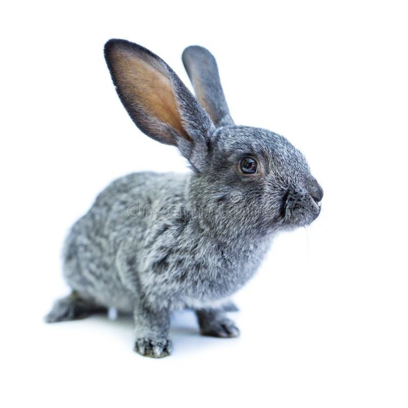 在白色背景的幼小欧洲灰色兔子 图库摄影