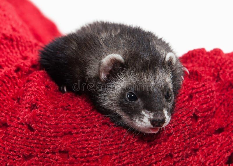 在白色背景的幼小白鼬 免版税库存照片