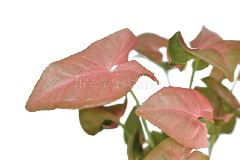 在白色背景的异乎寻常的室内植物鬼臼属'桃红色'箭头藤植物 库存图片