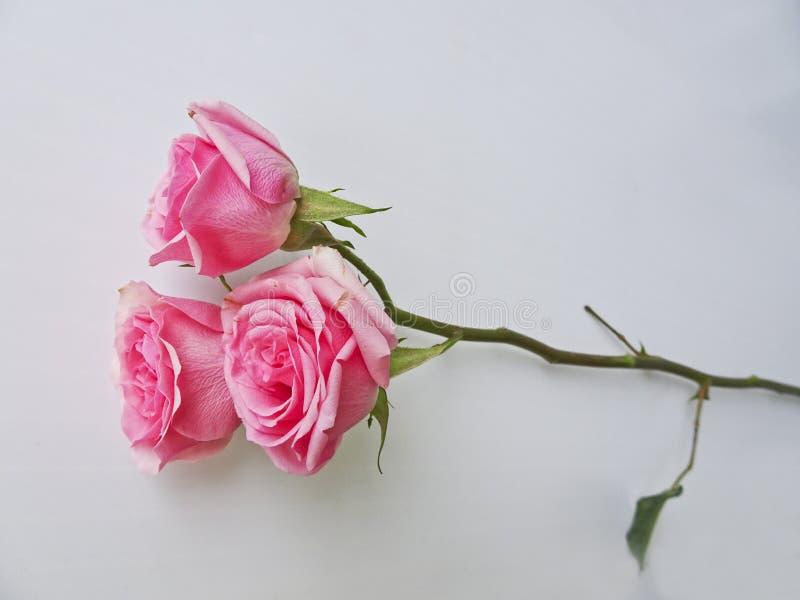 在白色背景的很多桃红色玫瑰 免版税图库摄影
