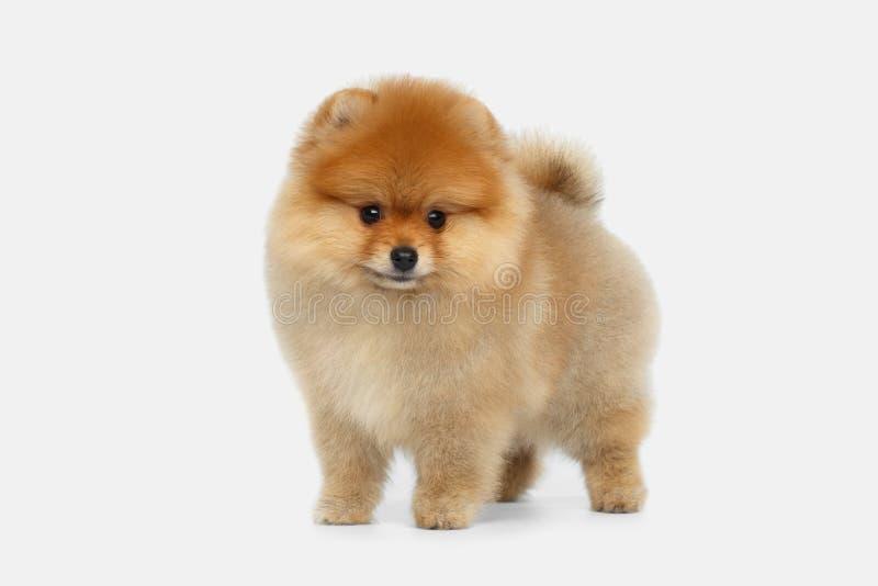 在白色背景的微型Pomeranian波美丝毛狗小狗 免版税图库摄影