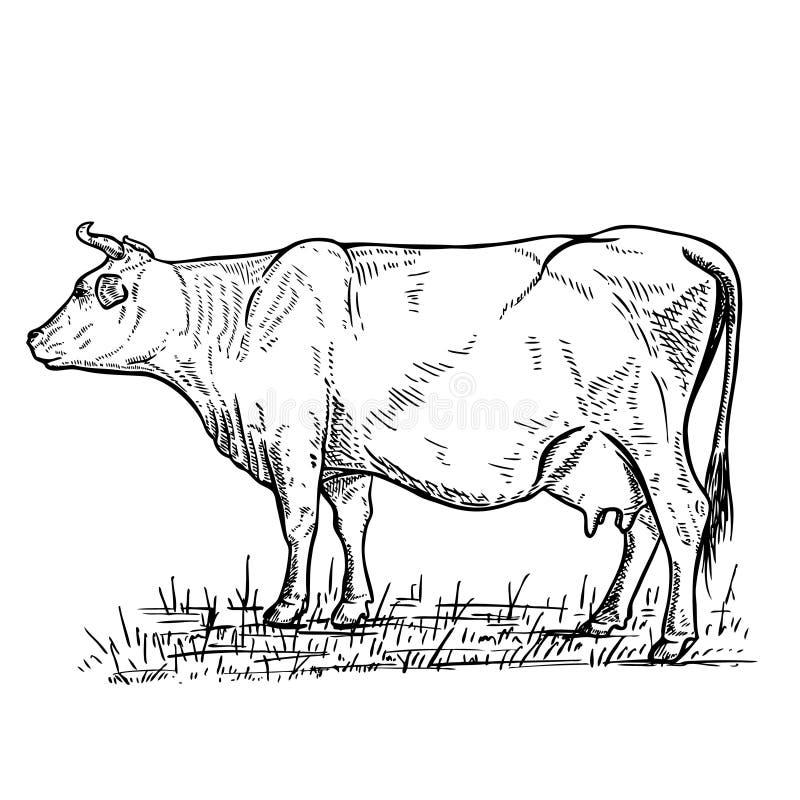 在白色背景的手拉的母牛例证 设计商标的,标签,象征,标志元素 皇族释放例证