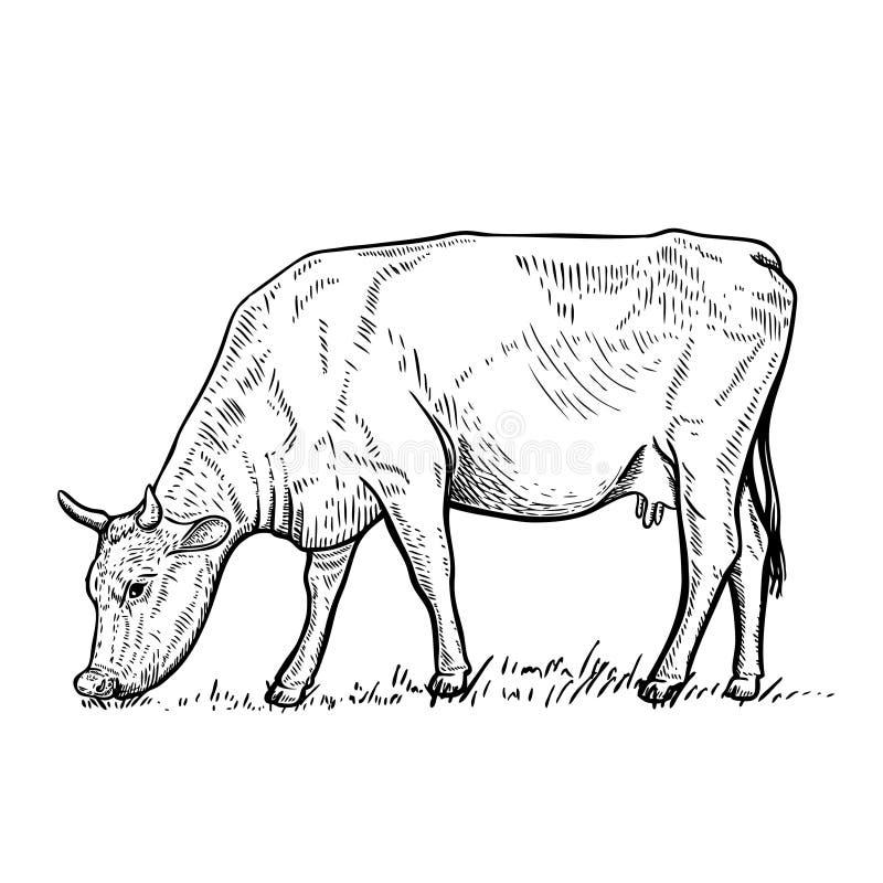 在白色背景的手拉的母牛例证 向量例证