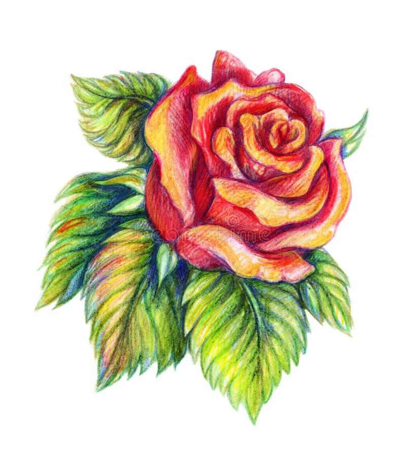 在白色背景的手拉的红色玫瑰 免版税库存照片