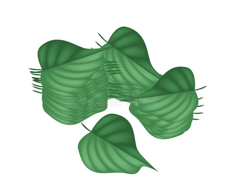 在白色背景的新鲜的绿色蒋酱之叶叶子 库存例证