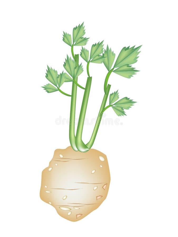 在白色背景的新绿色芹菜根 库存例证