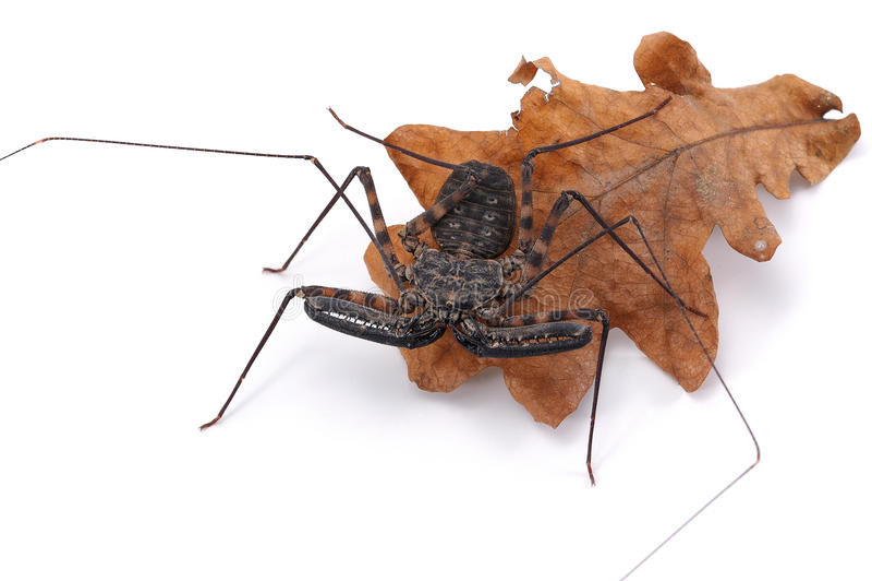 在白色背景的无尾部的有鞭蝎 库存照片
