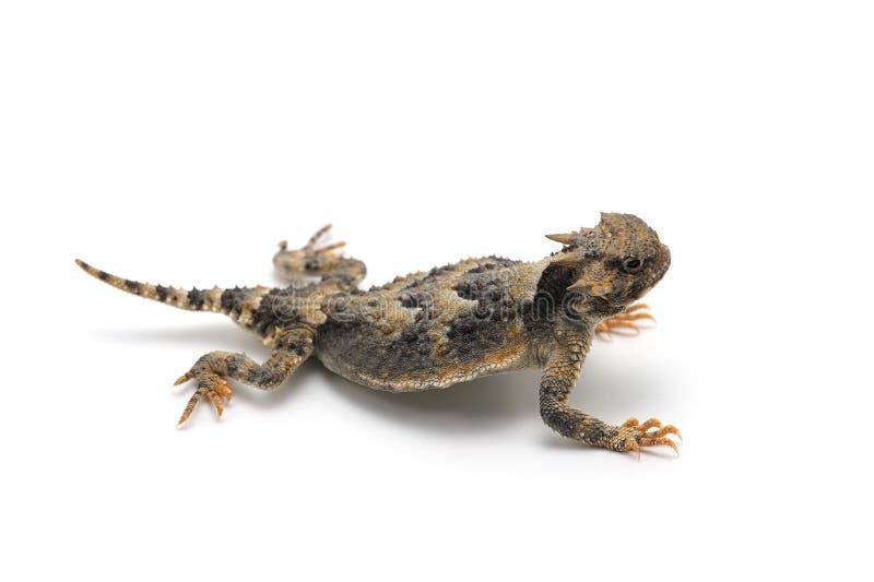 在白色背景的更加伟大的短有角的蜥蜴 免版税库存照片