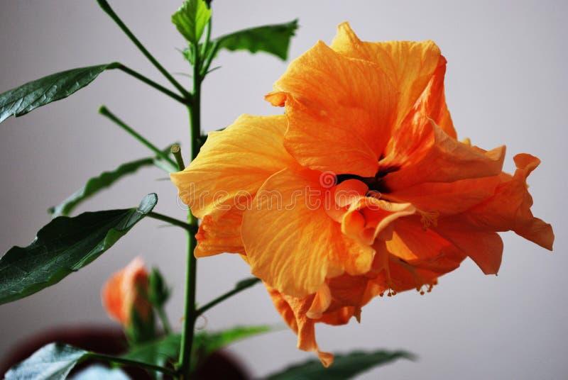 在白色背景的木槿花 库存照片