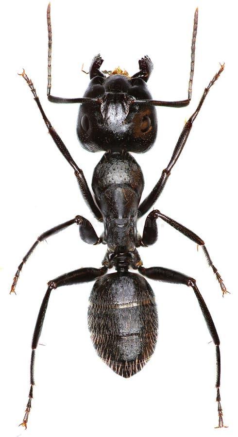 在白色背景的木蚂蚁 免版税库存图片