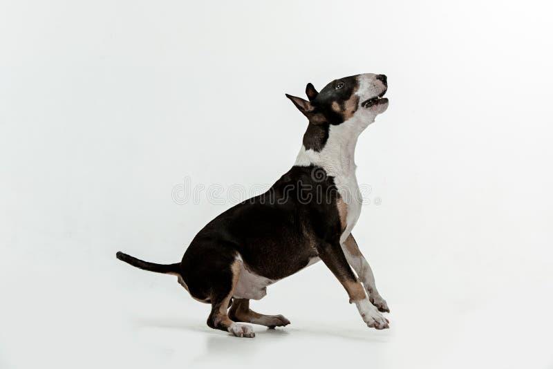 在白色背景的杂种犬类型狗 免版税库存照片