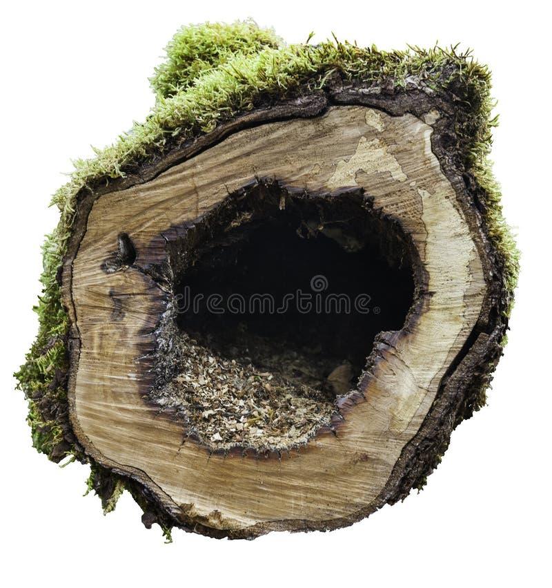 在白色背景的树干 免版税库存照片
