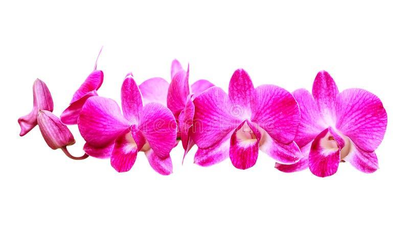 在白色背景的桃红色兰花 库存图片