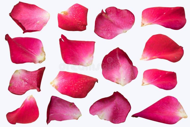 在白色背景的桃红色玫瑰花瓣集合孤立 免版税库存照片