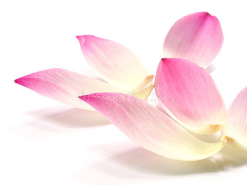 在白色背景的桃红色莲花瓣花 免版税库存照片